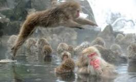 """""""Monos de nieve"""" japoneses alivian su estrés con aguas termales"""